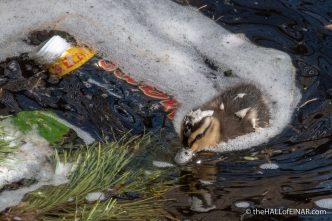 Mallard Duckling - The Hall of Einar - photograph (c) David Bailey (not the)