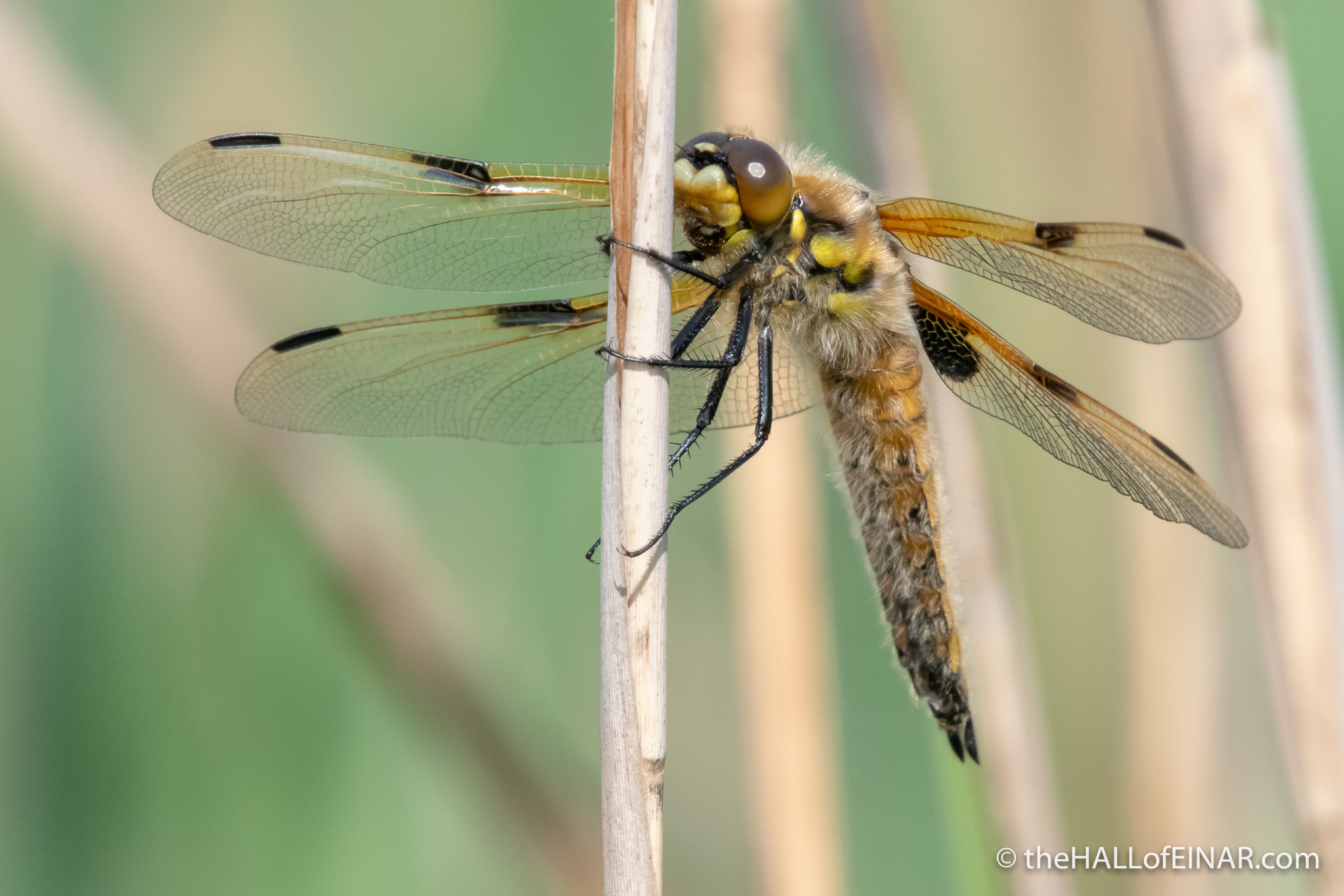 Four-Spotted Chaser - Ham Wall - The Hall of Einar - photograph (c) David Bailey (not the)