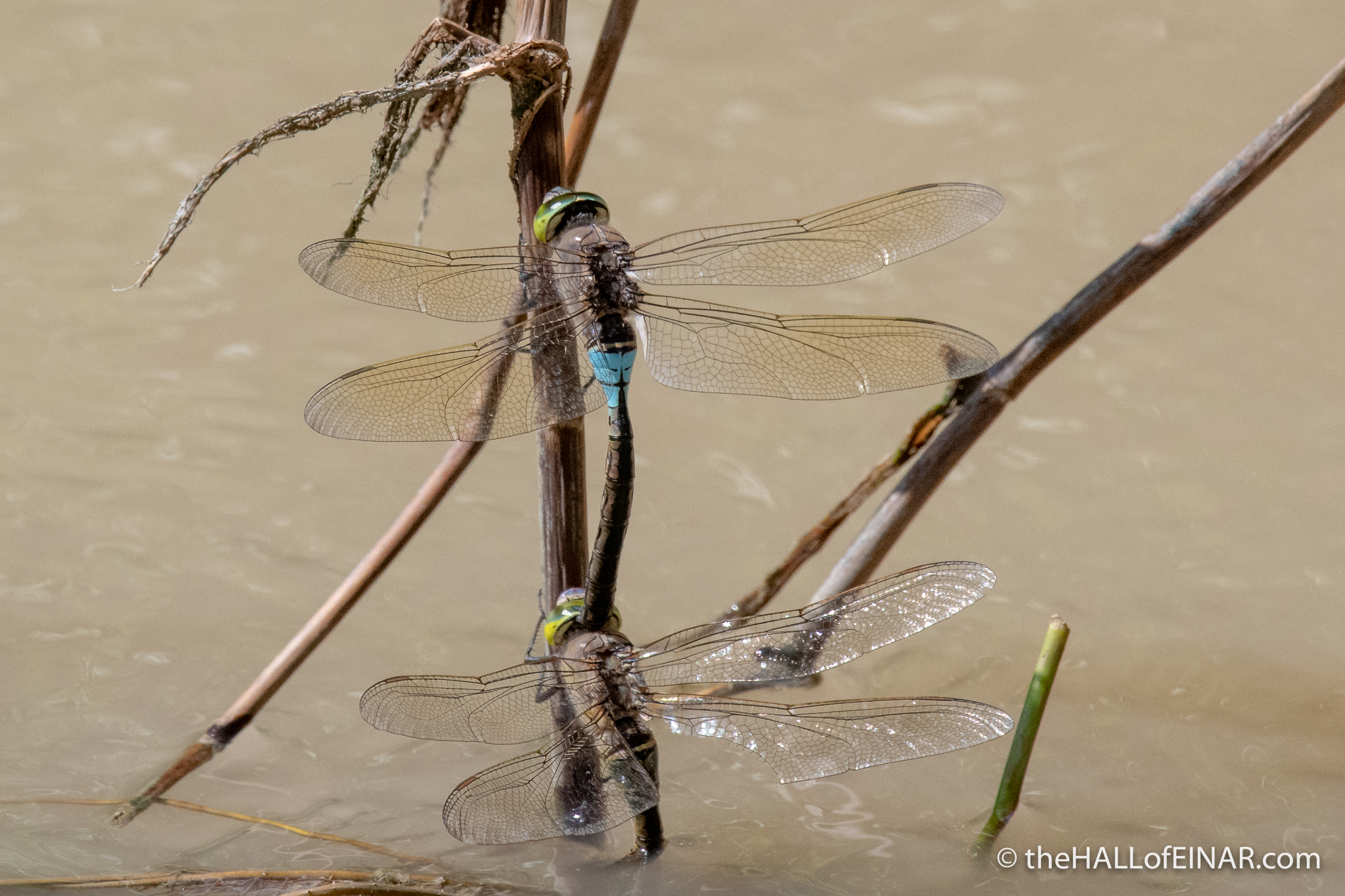 Lesser Emporer Dragonfly - Matera - The Hall of Einar - photograph (c) David Bailey (not the)