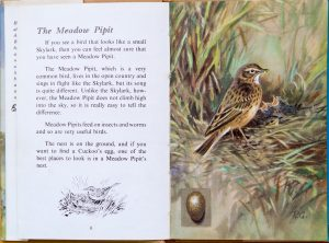 Meadow Pipit - Ladybird Book of British Birds