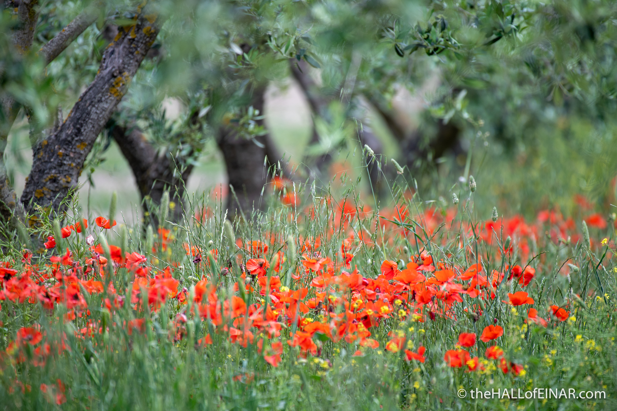 Poppies - Southern Italy - The Hall of Einar - photograph (c) David Bailey (not the)