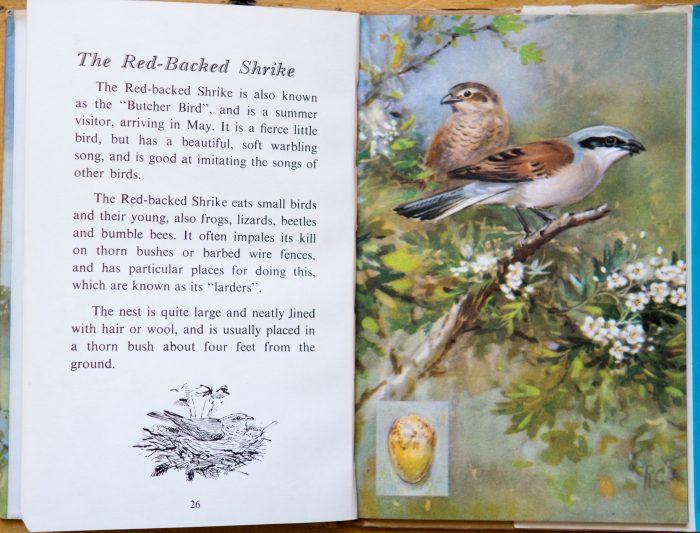 Red Backed Shrike - Ladybird Book of British Birds