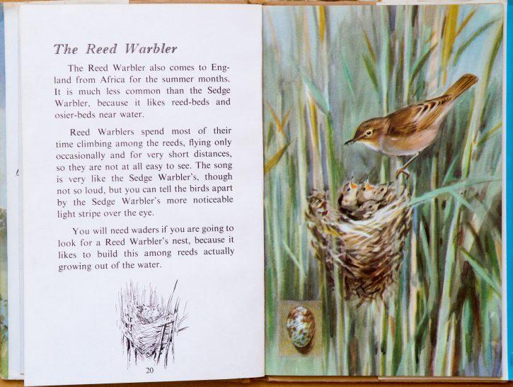 Reed Warbler - Ladybird Book of British Birds
