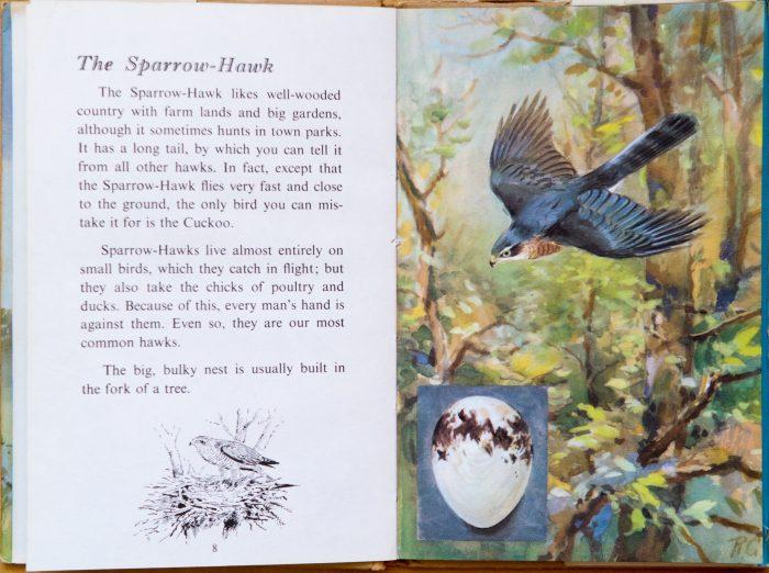 Sparrowhawk - Ladybird Book of British Birds