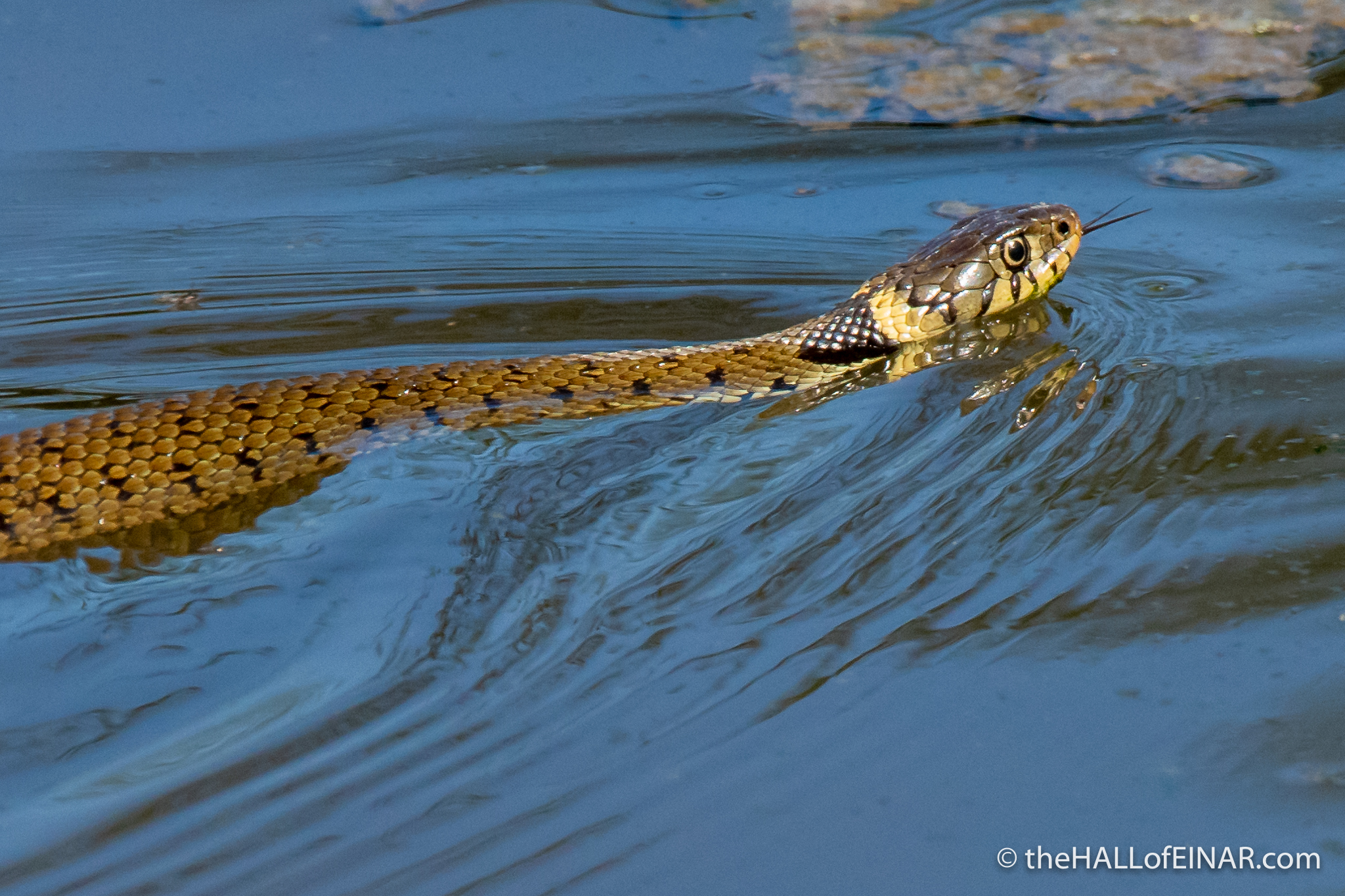 Grass Snake - The Hall of Einar - photograph (c) David Bailey (not the)