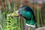 Male Mallard Duck - The Hall of Einar - photograph (c) David Bailey (not the)