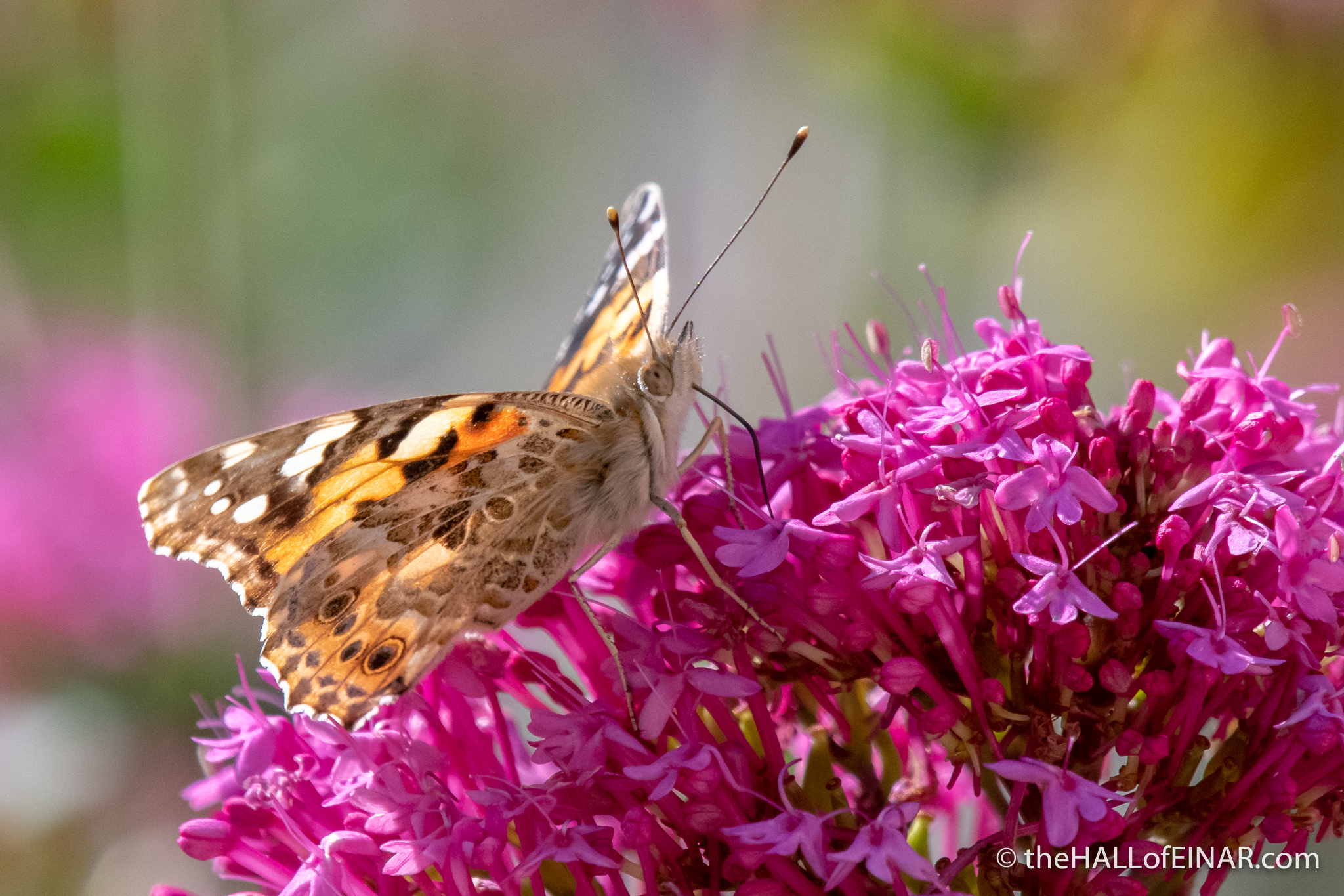 Painted Lady - Vanessa cardui - Matera - The Hall of Einar - photograph (c) David Bailey (not the)