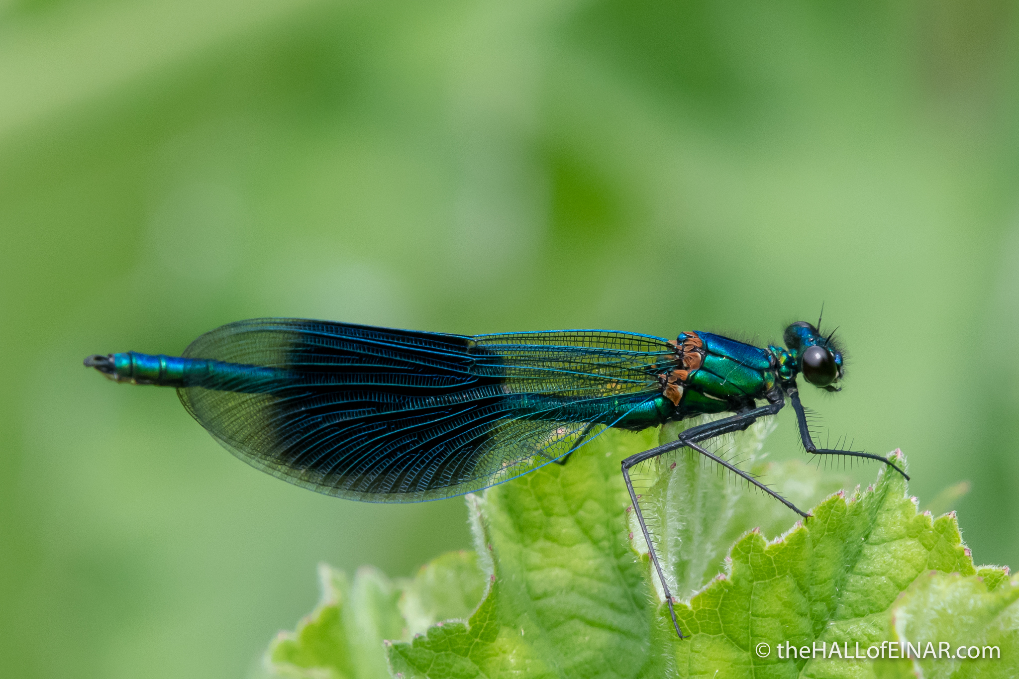 Banded Demoiselle - The Hall of Einar - photograph (c) David Bailey (not the)