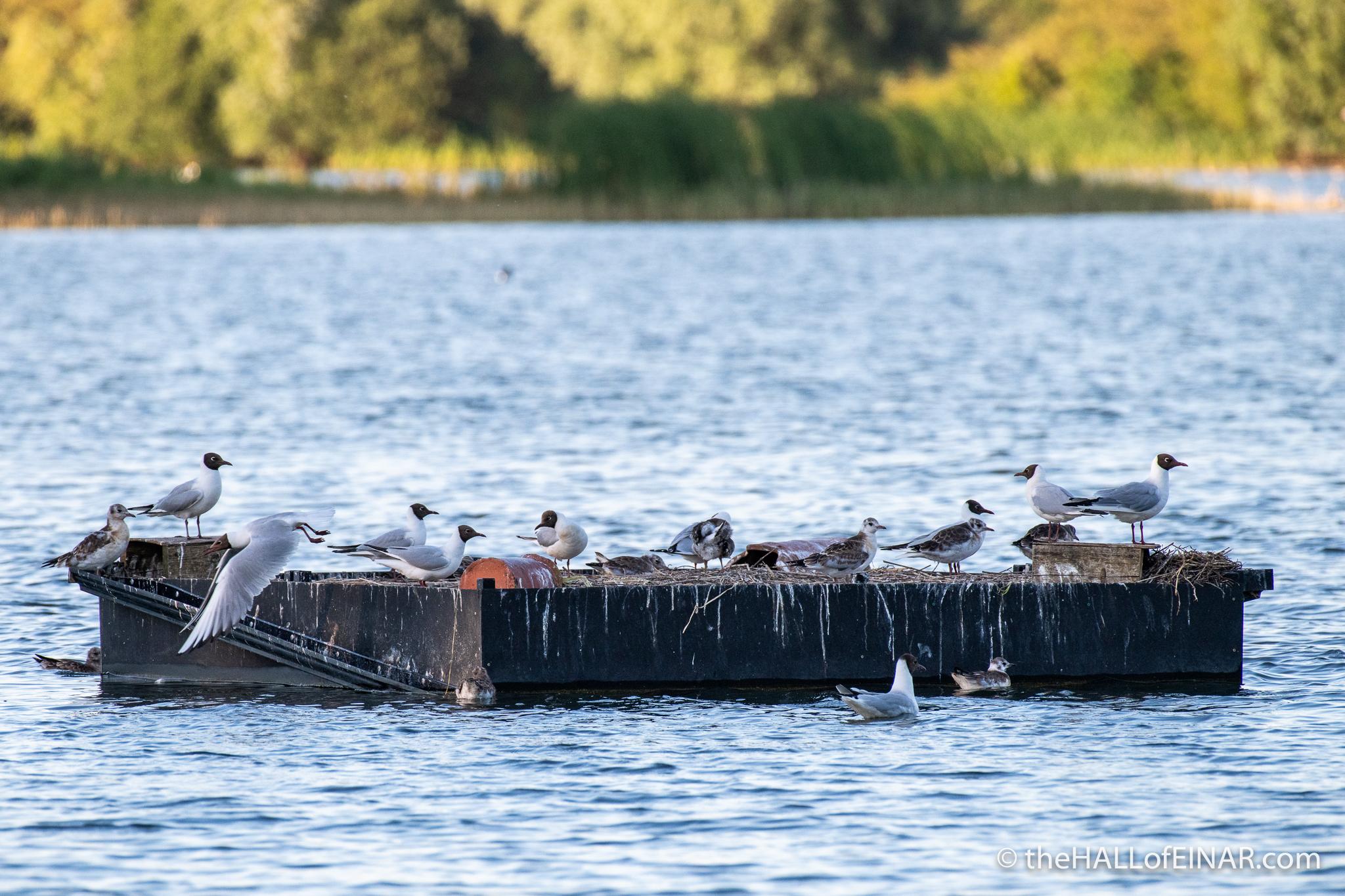 Black Headed Gulls - The Hall of Einar - photograph (c) David Bailey (not the)
