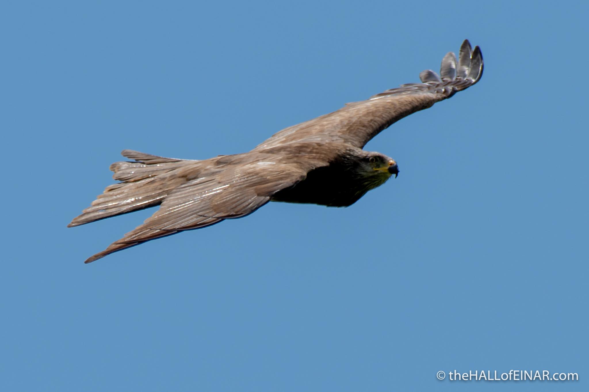 Black Kite - The Hall of Einar - photograph (c) David Bailey (not the)