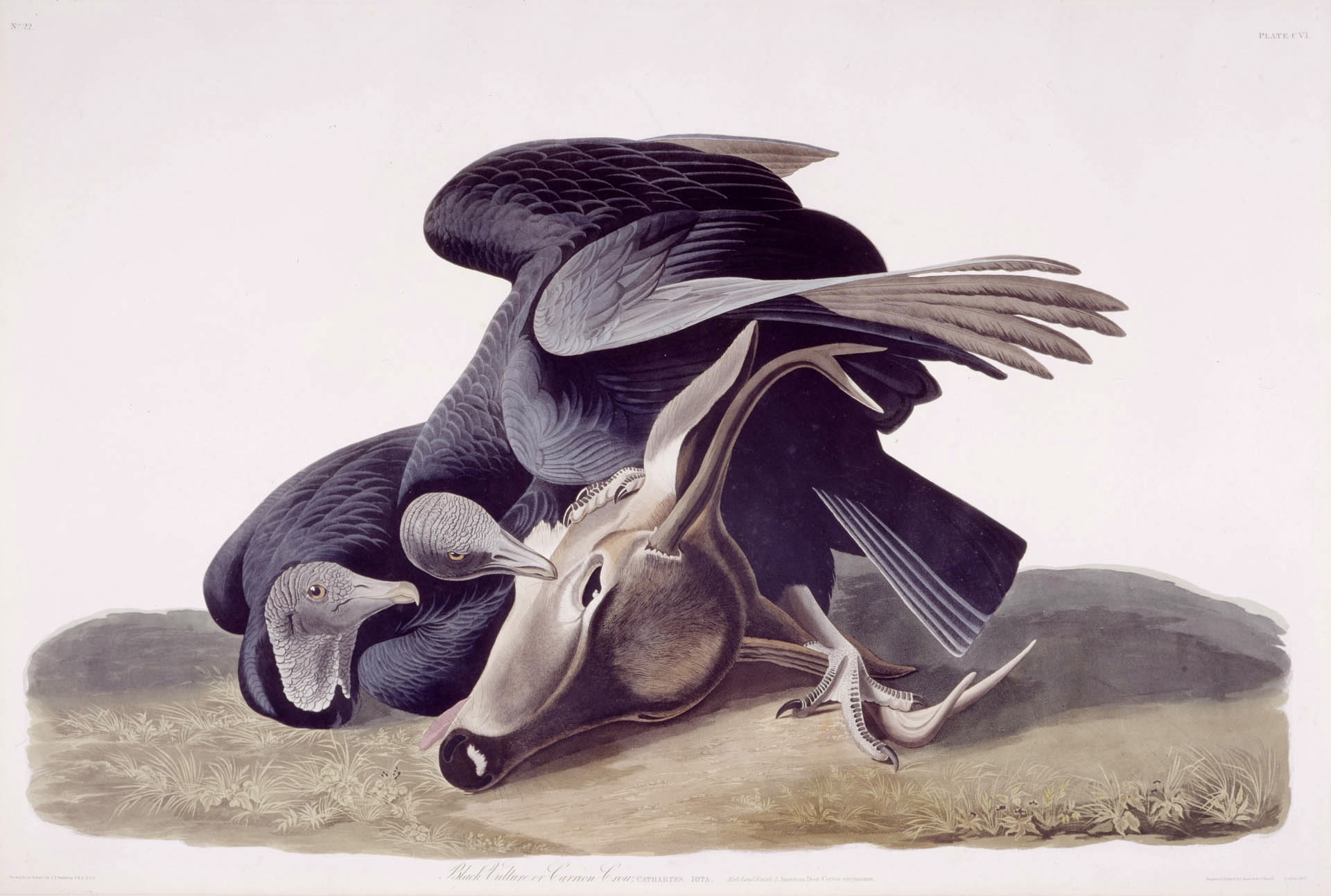 Black Vulture - Audubon
