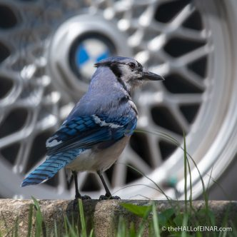 Blue Jay - The Hall of Einar - photograph (c) David Bailey (not the)