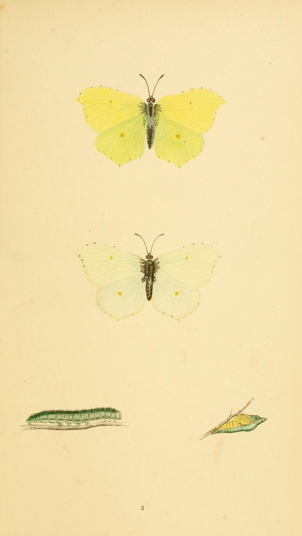 Brimstone - A History of British Butterflies - Rev Morris