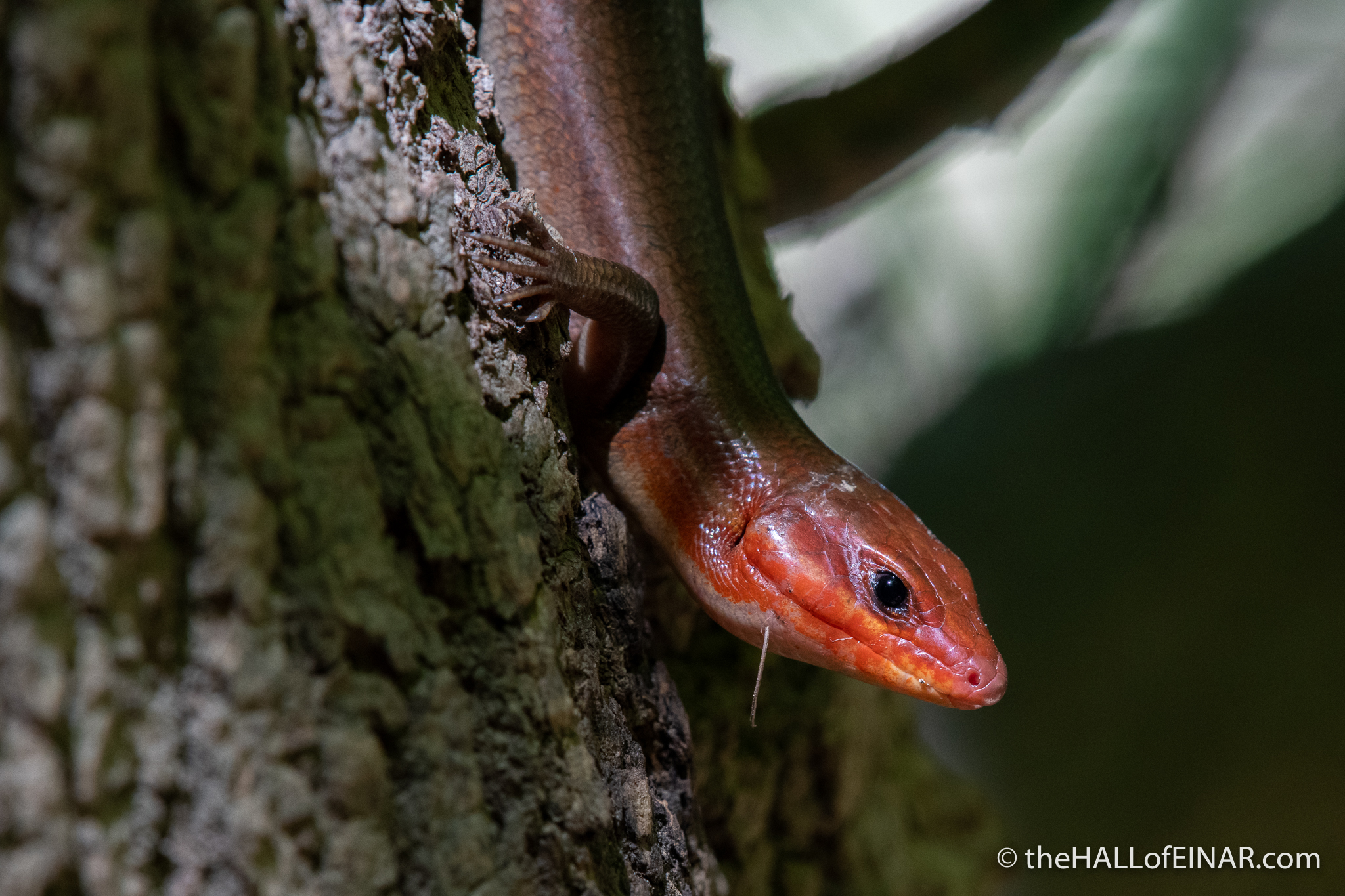 Broad Headed Skink - The Hall of Einar - photograph (c) David Bailey (not the)