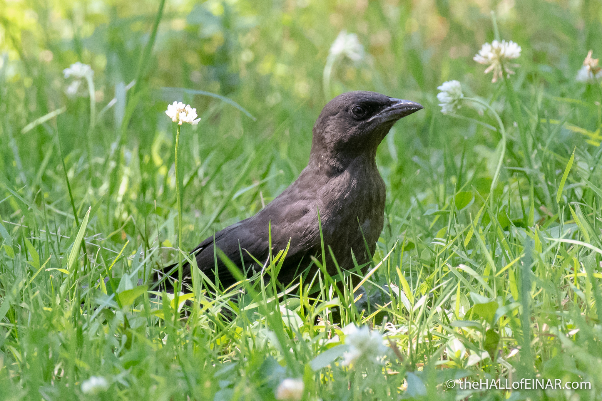 Brown-Headed Cowbird - The Hall of Einar - photograph (c) David Bailey (not the)