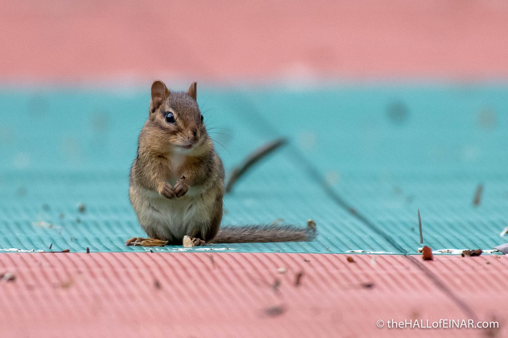 Chipmunk - The Hall of Einar - photograph (c) David Bailey (not the)