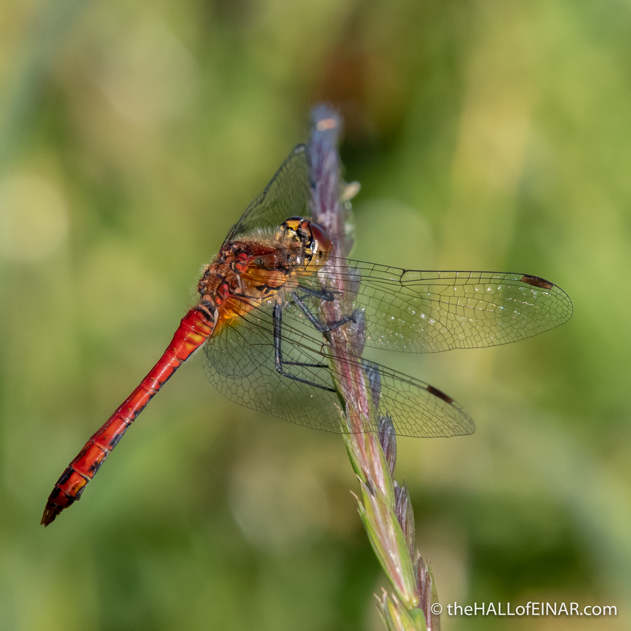 Common Darter dragonfly - The Hall of Einar - photograph (c) David Bailey (not the)