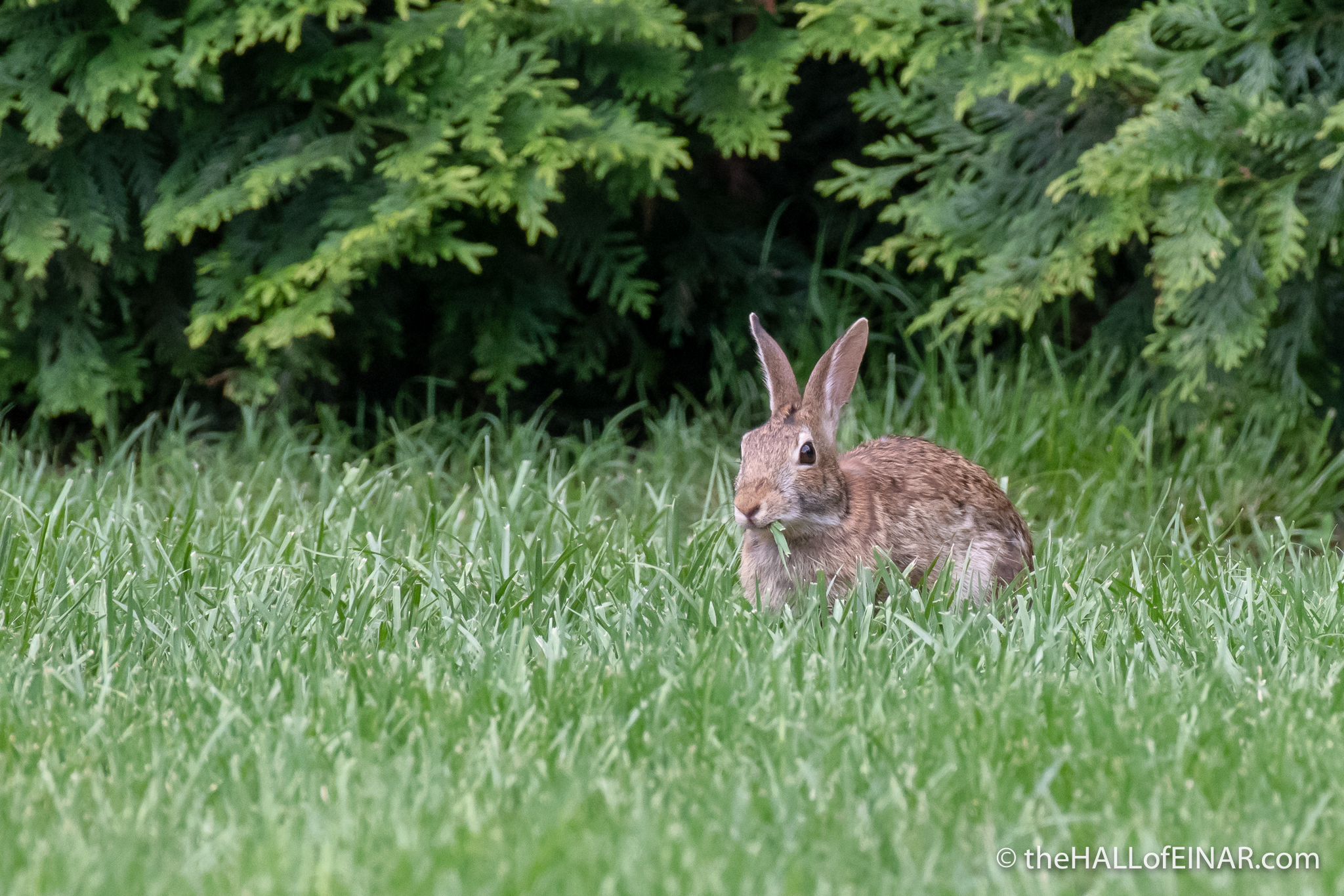 Eastern Cottontail - The Hall of Einar - photograph (c) David Bailey (not the)