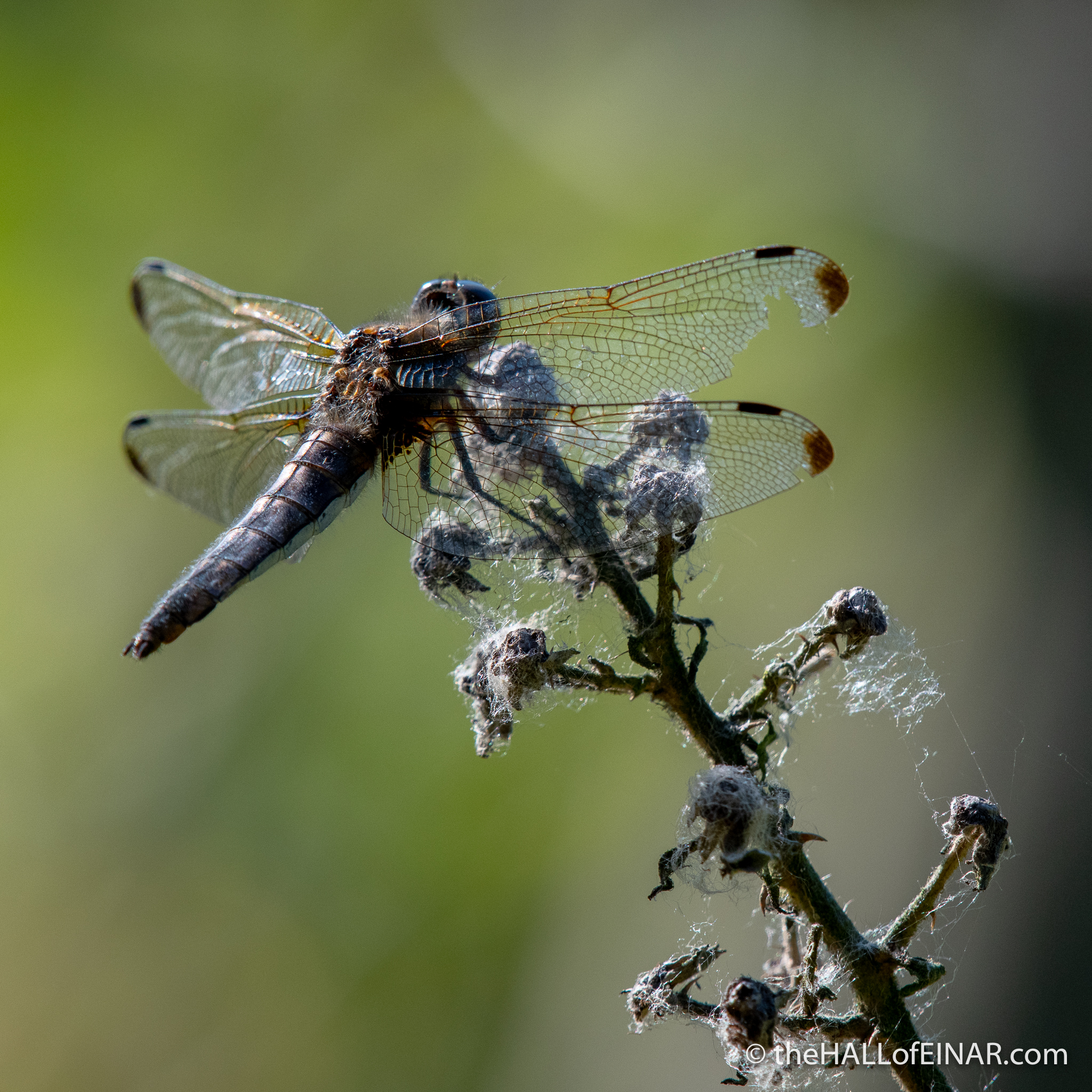 Broad-Bodied Chaser dragonfly - The Hall of Einar - photograph (c) David Bailey (not the)