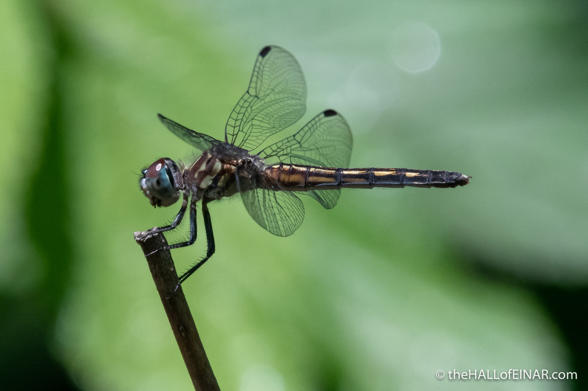 Female Blue Dasher dragonfly - The Hall of Einar - photograph (c) David Bailey (not the)