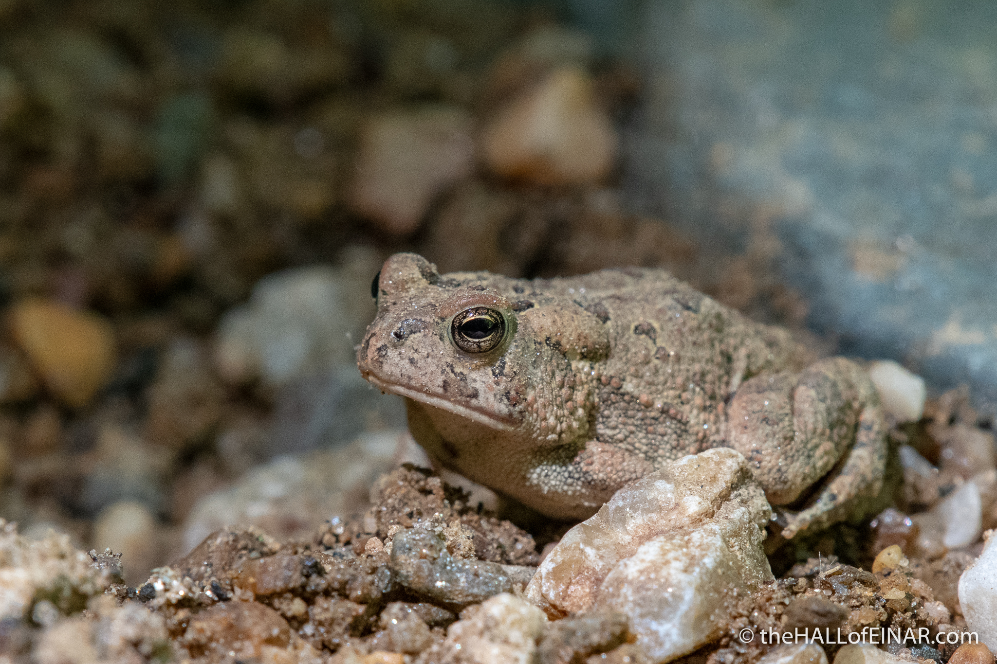 Fowler's Toad - The Hall of Einar - photograph (c) David Bailey (not the)