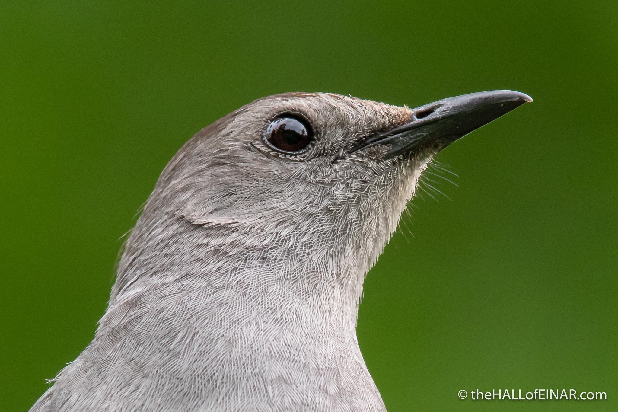 Gray Catbird - The Hall of Einar - photograph (c) David Bailey (not the)