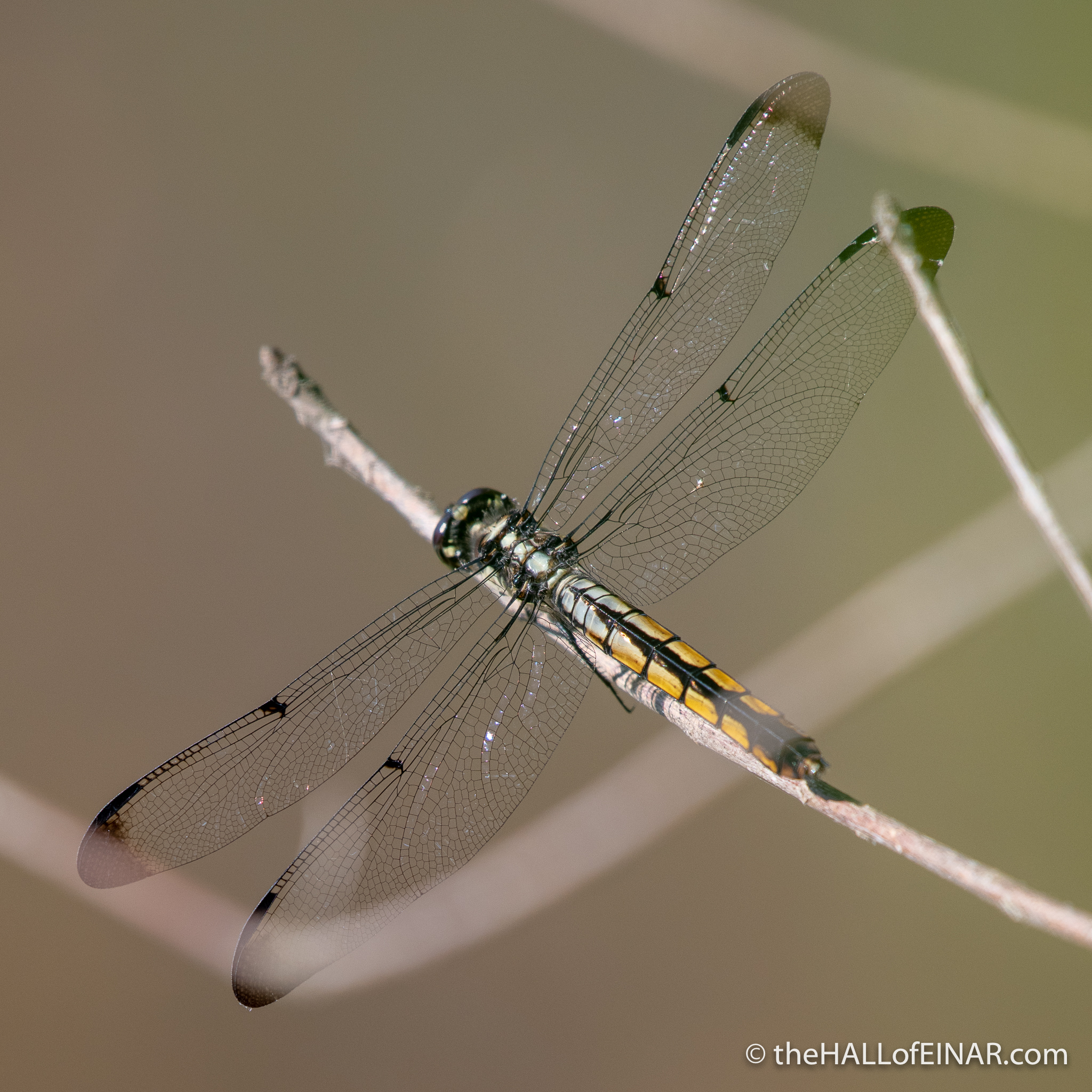 Great Blue Skimmer dragonfly - The Hall of Einar - photograph (c) David Bailey (not the)