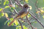 Great Crested Flycatcher - The Hall of Einar - photograph (c) David Bailey (not the)