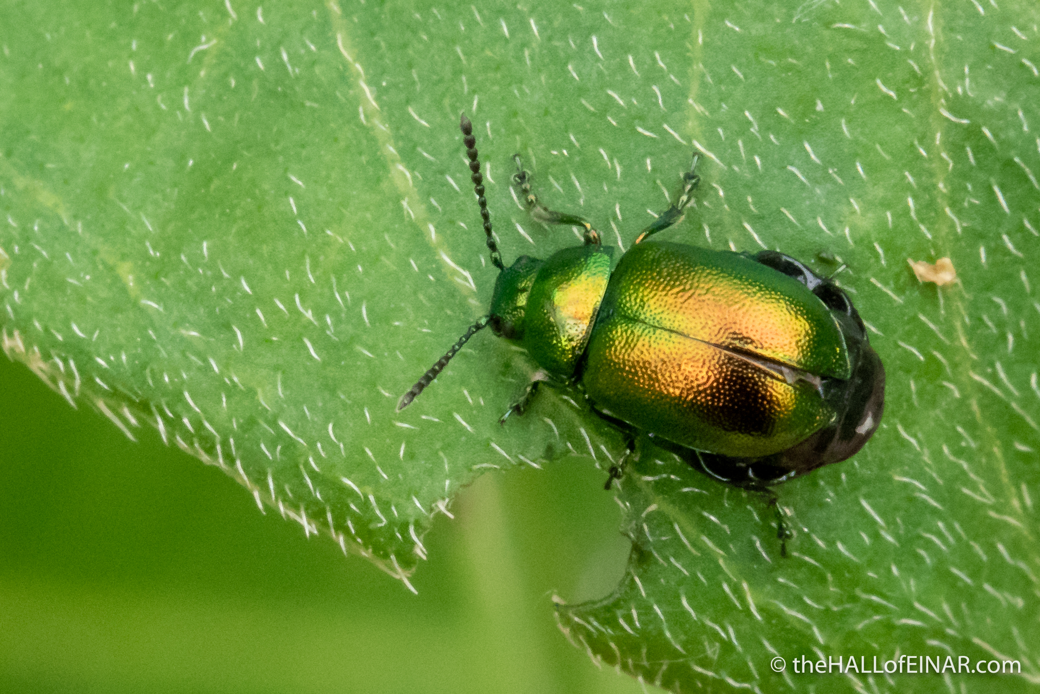 Green Dock Beetle - The Hall of Einar - photograph (c) David Bailey (not the)