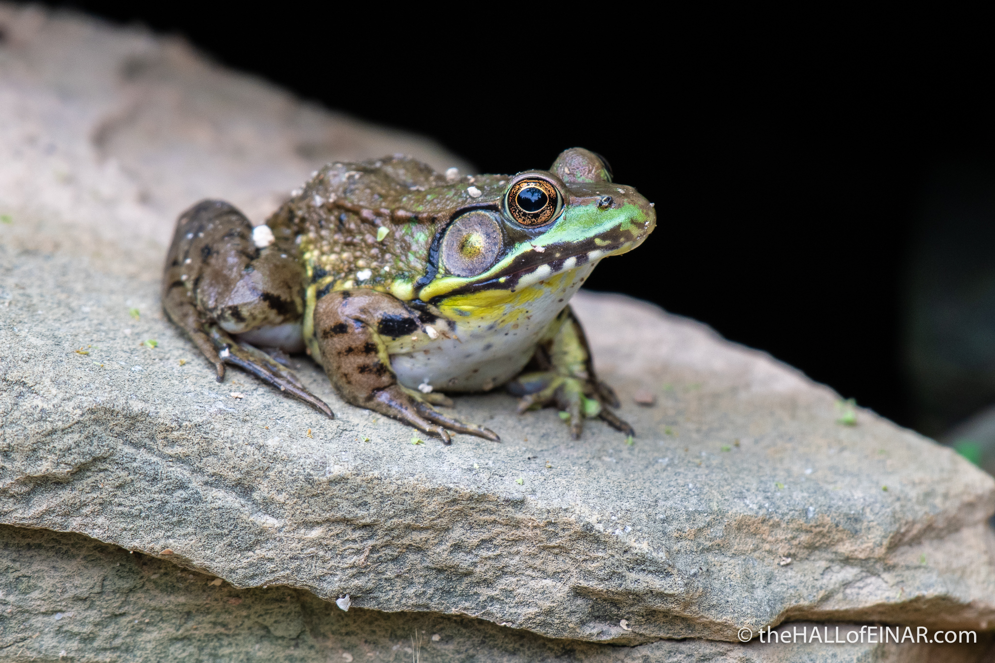 Green Frog - The Hall of Einar - photograph (c) David Bailey (not the)