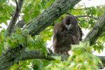 Juvenile Bald Eagle - The Hall of Einar - photograph (c) David Bailey (not the)