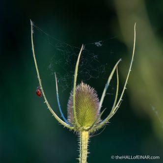 Ladybird on the Teasel - The Hall of Einar - photograph (c) David Bailey (not the)