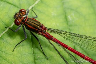 Large Red Damselfly - The Hall of Einar - photograph (c) David Bailey (not the)