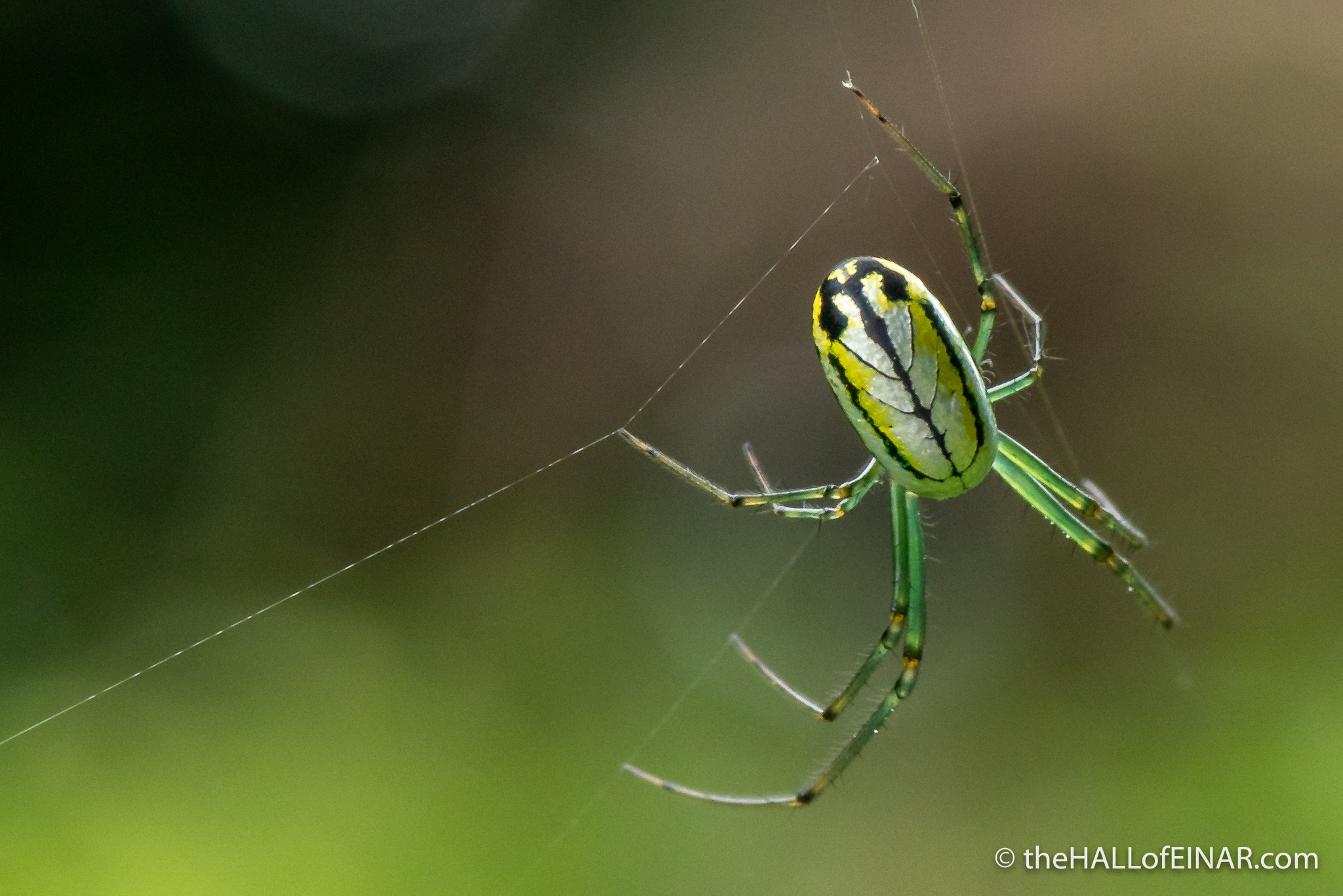 Leucauge venusta, Orchard Orb-Weaver - The Hall of Einar - photograph (c) David Bailey (not the)