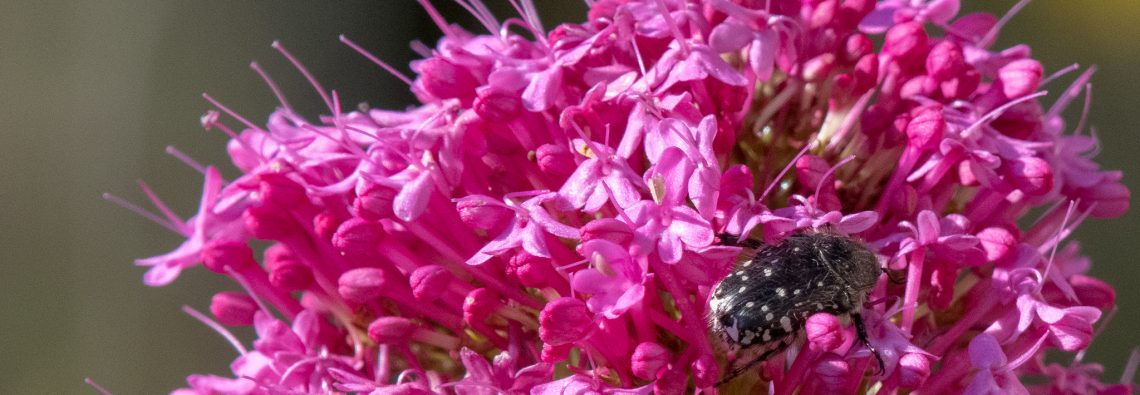 Mediterranean Spotted Chafer - The Hall of Einar - photograph (c) David Bailey (not the)