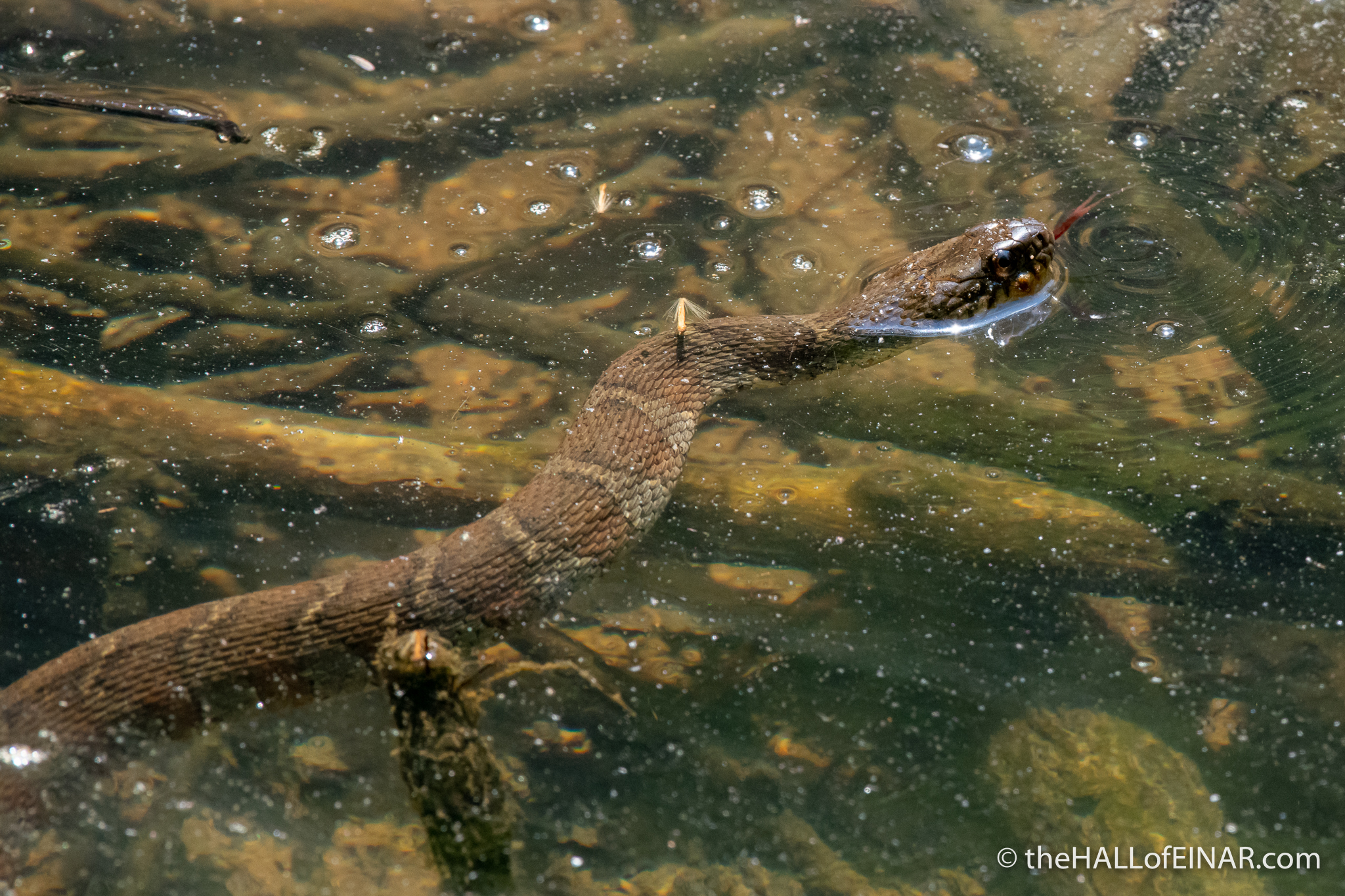 Northern Watersnake - The Hall of Einar - photograph (c) David Bailey (not the)