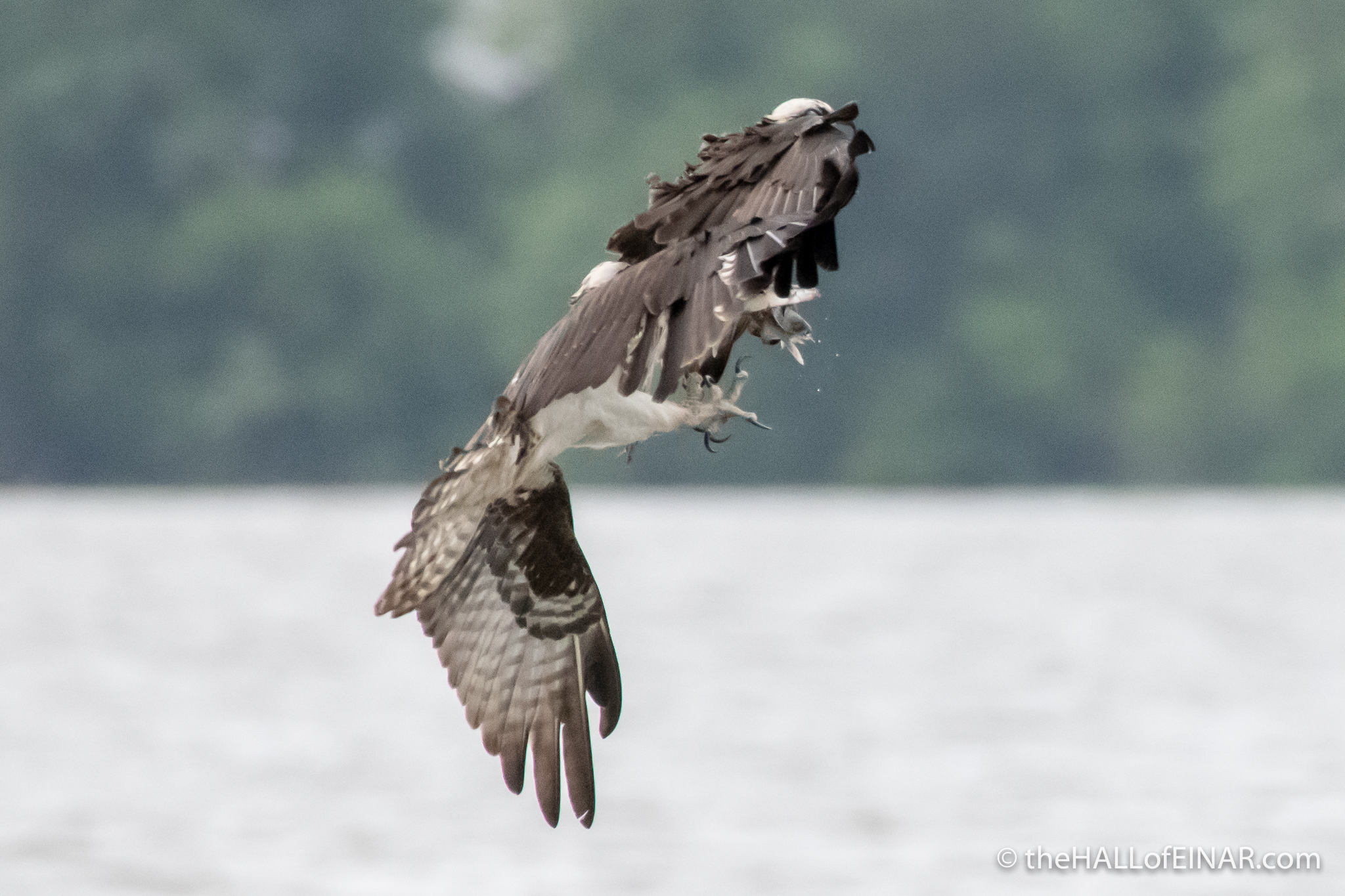 Osprey at Belle Haven Marina - The Hall of Einar - photograph (c) David Bailey (not the)