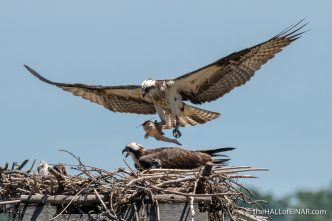 Osprey nest at Belle Haven Marina - The Hall of Einar - photograph (c) David Bailey (not the)