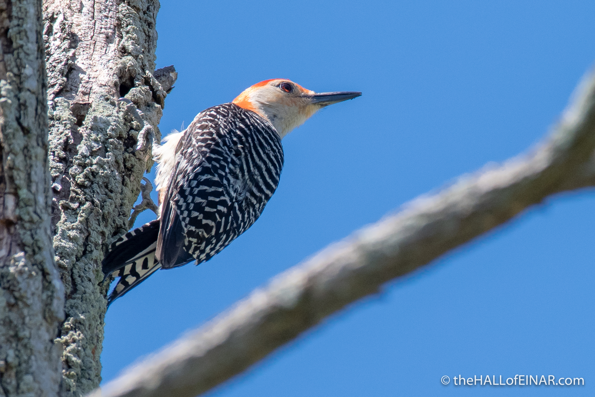 Red Bellied Woodpecker - The Hall of Einar - photograph (c) David Bailey (not the)