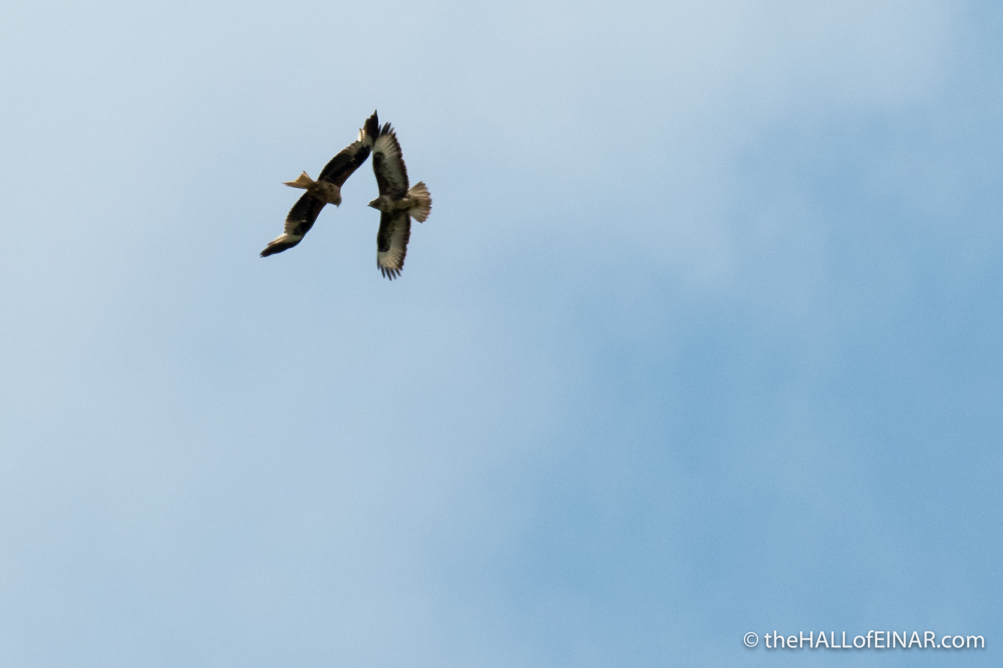 Red Kite and Buzzard- The Hall of Einar - photograph (c) David Bailey (not the)