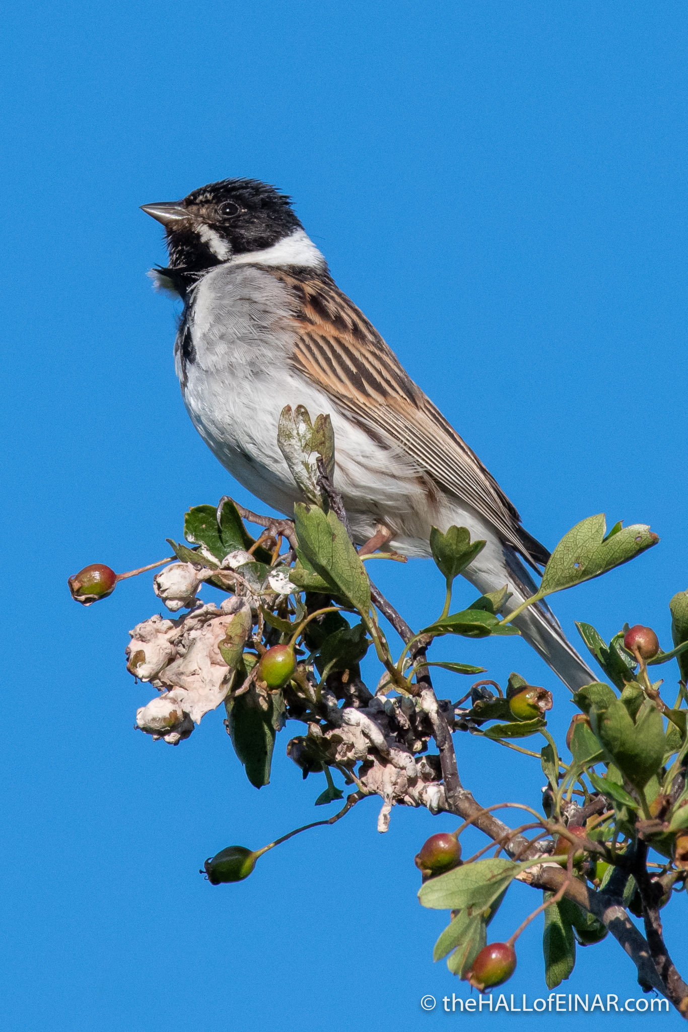 Reed Bunting - The Hall of Einar - photograph (c) David Bailey (not the)