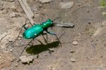 Six Spotted Tiger Beetle - The Hall of Einar - photograph (c) David Bailey (not the)