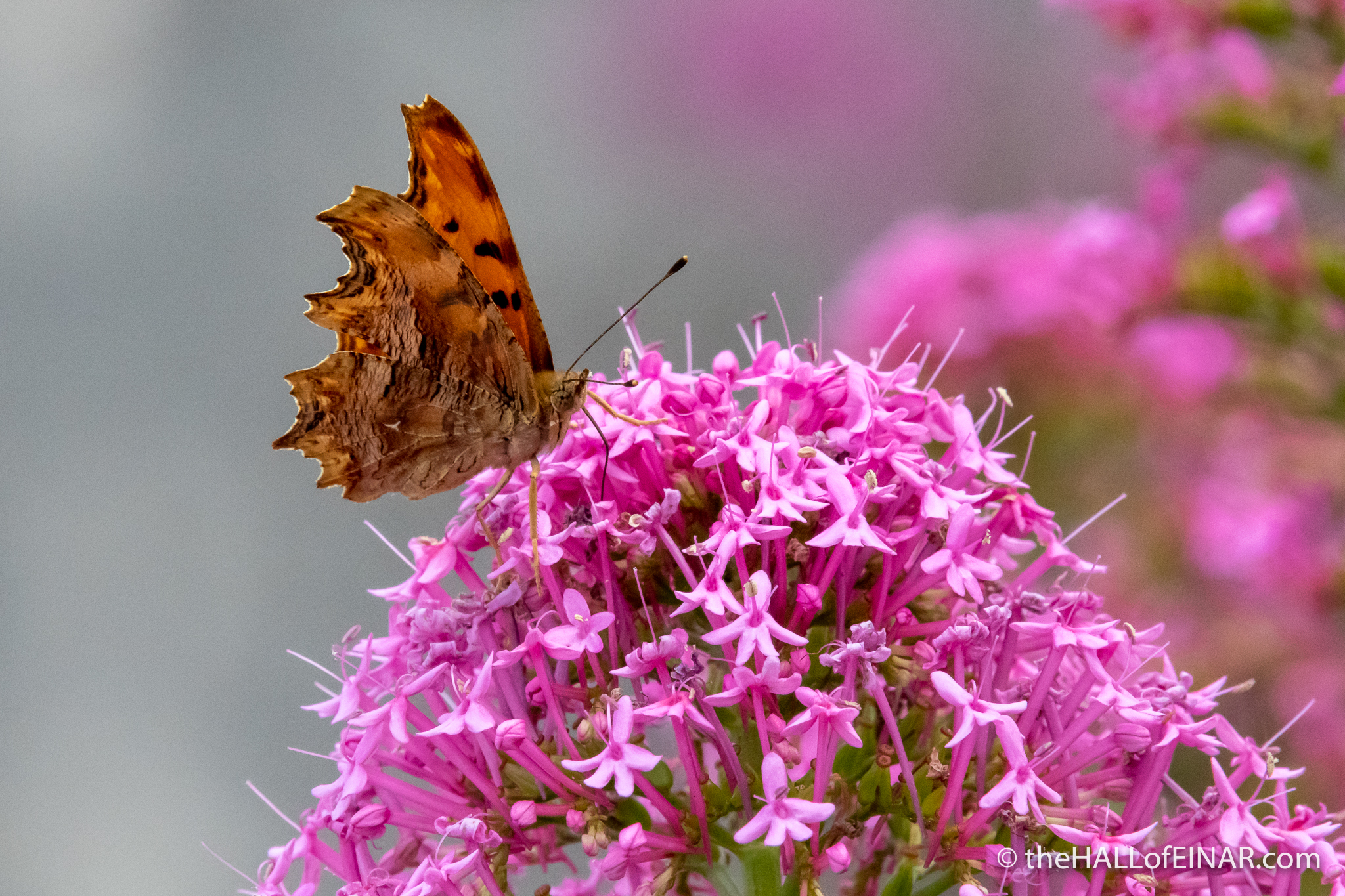 Southern Comma - Matera - The Hall of Einar - photograph (c) David Bailey (not the)
