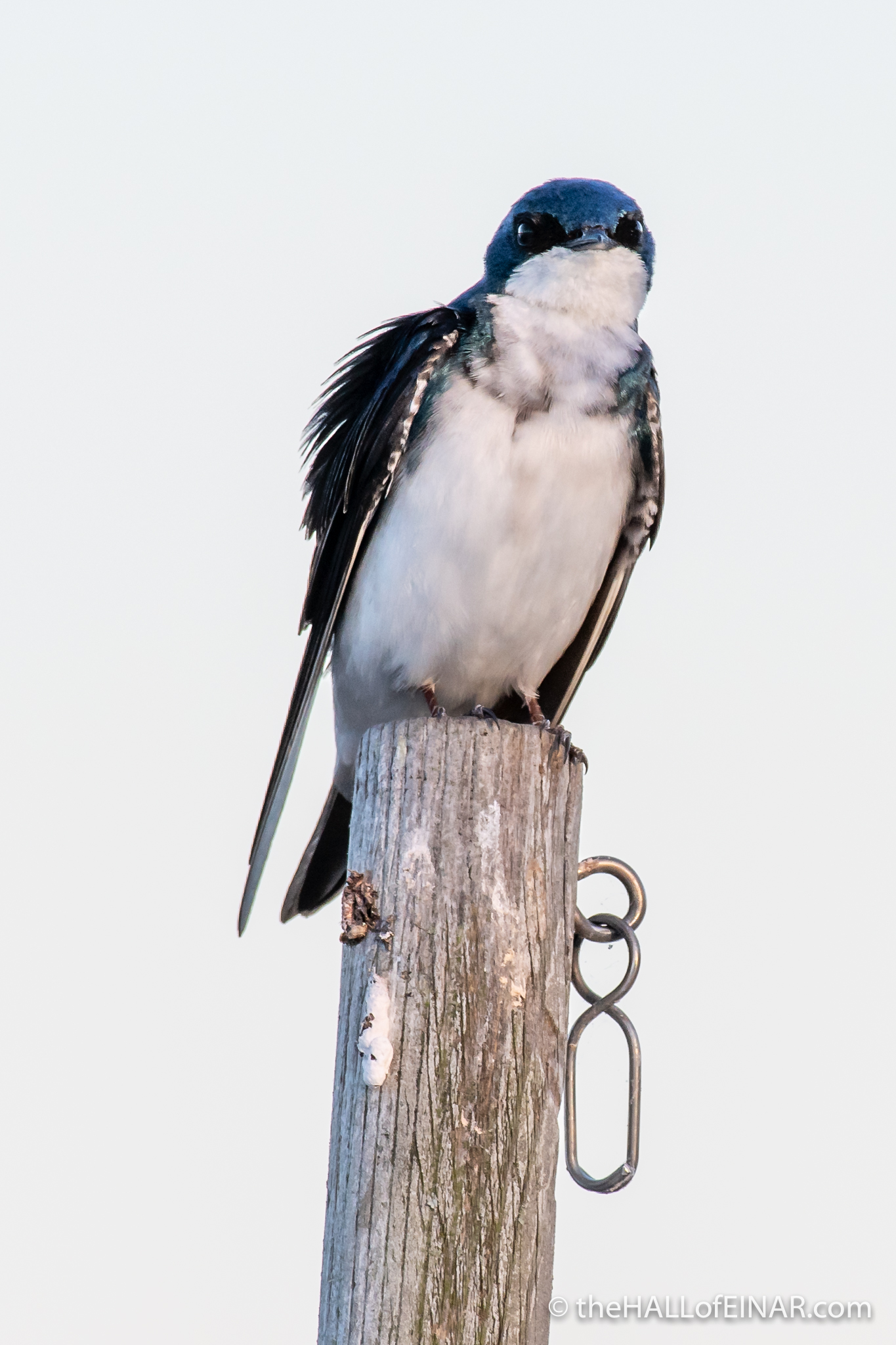 Tree Swallow - The Hall of Einar - photograph (c) David Bailey (not the)