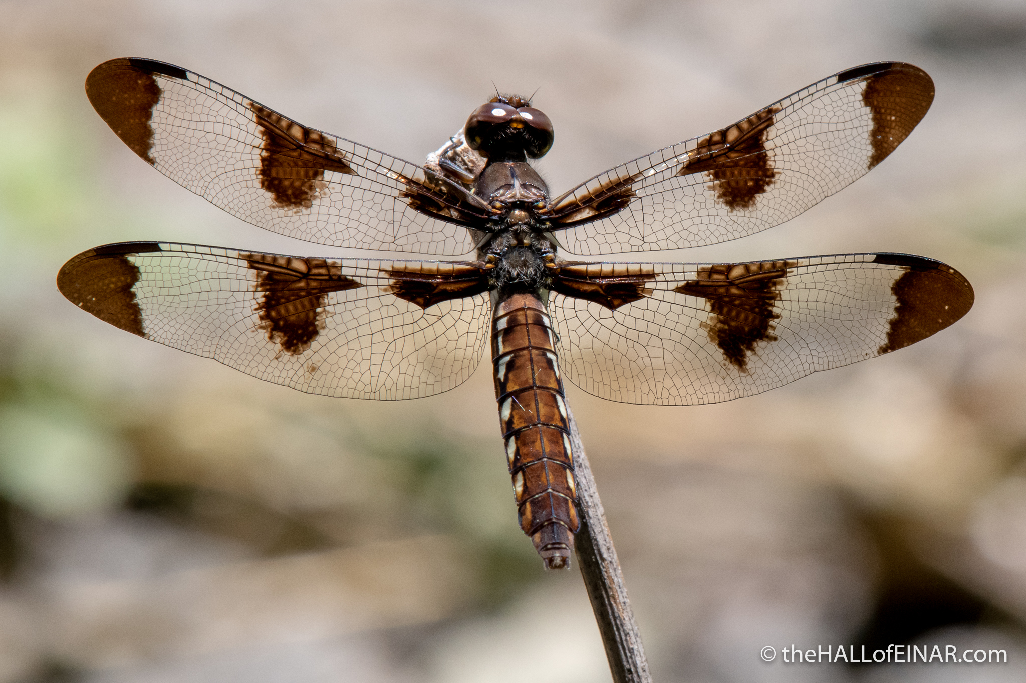 Common Whitetail Dragonfly - The Hall of Einar - photograph (c) David Bailey (not the)