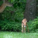 White-Tailed Deer - The Hall of Einar - photograph (c) David Bailey (not the)