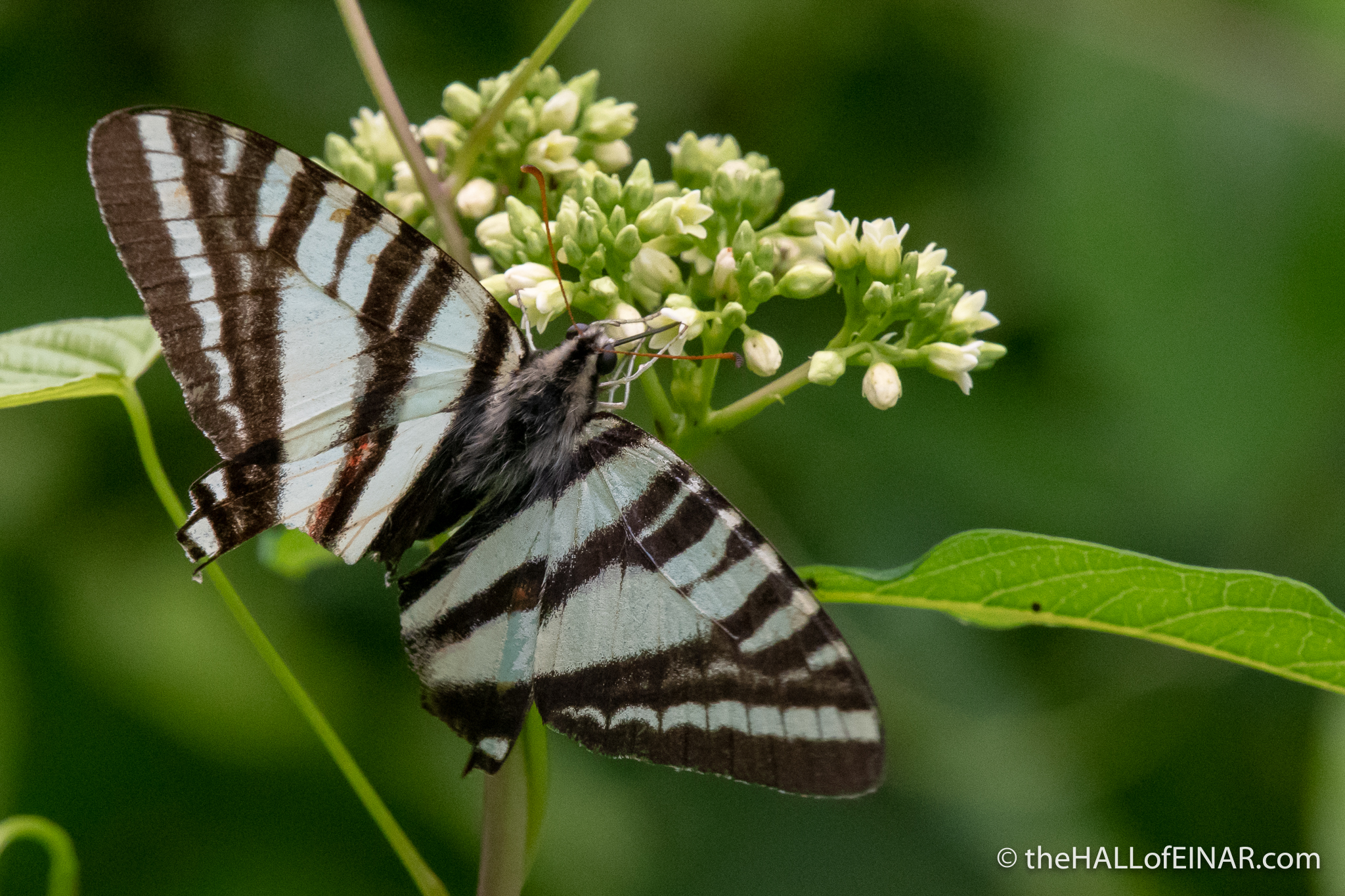 Zebra Swallowtail - Eurytides marcellus - The Hall of Einar - photograph (c) David Bailey (not the)