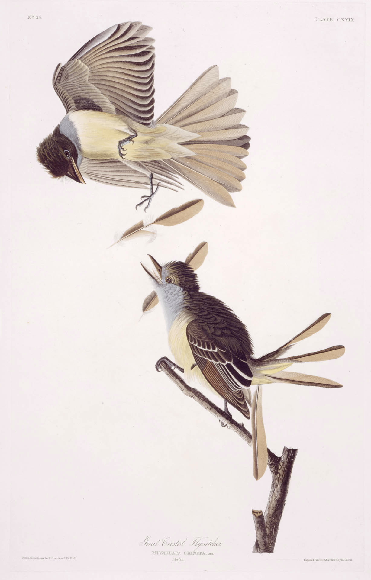 Great Crested Flycatcher - Audubon