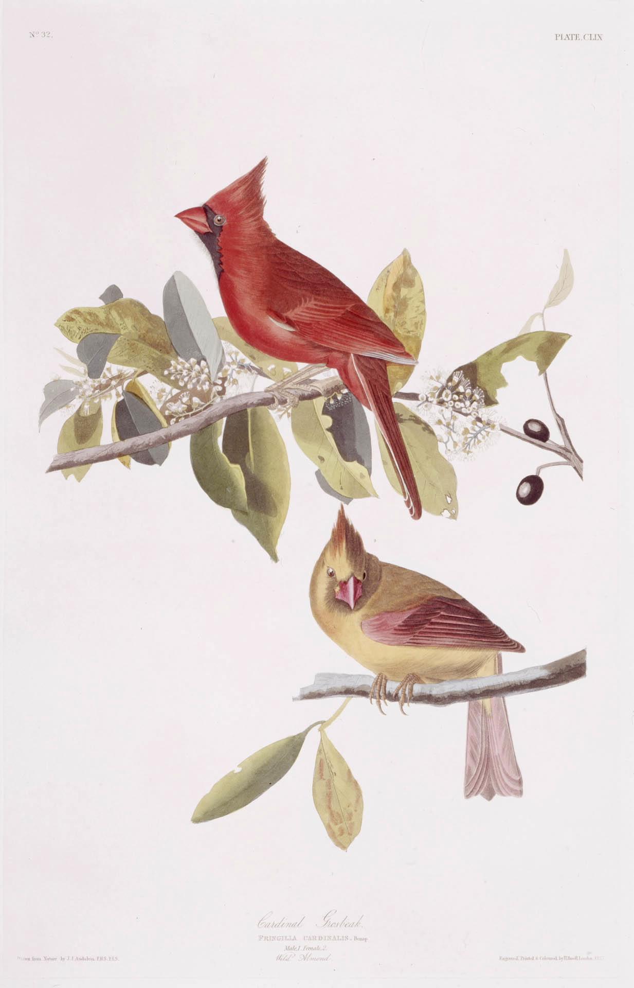 Northern Cardinal - Audubon
