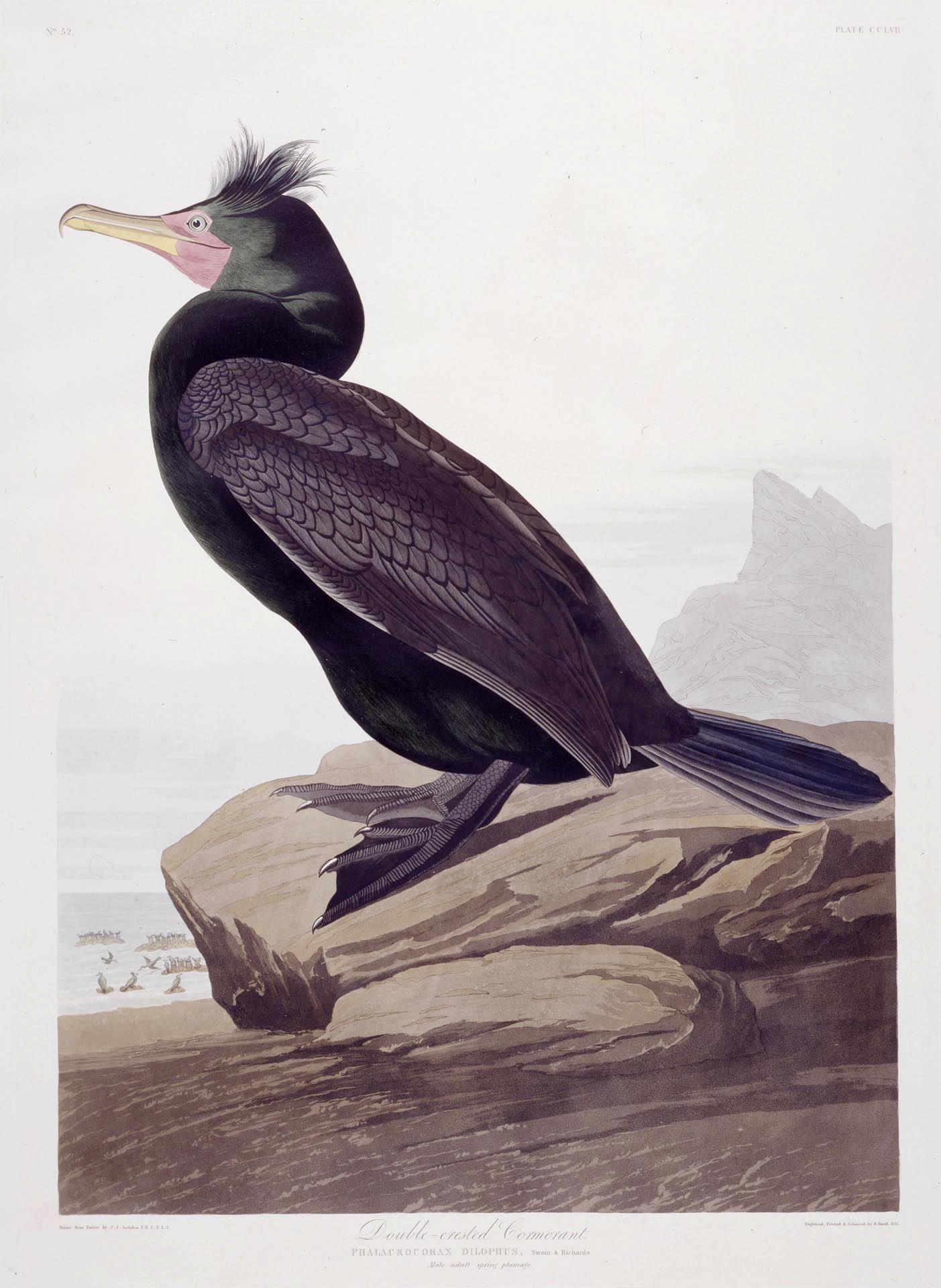 Double Crested Cormorant - Audubon